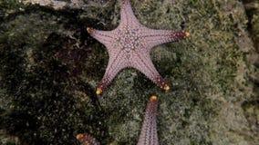 Fim acima dos peixes da estrela no aquário video estoque