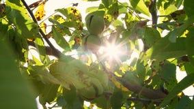 Fim acima Nozes maduras europeias verdes que crescem na árvore entre as folhas, à vista do sol árvores de noz com vídeos de arquivo