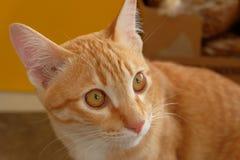 Fim acordado da cara do gato acima Fotografia de Stock