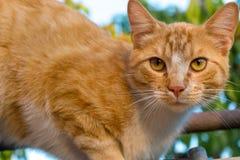 Fim adorável vermelho e branco do gato acima Retrato da vaquinha Kitten Posing Foto de Stock