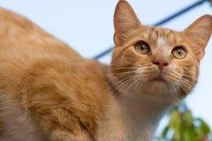 Fim adorável vermelho e branco do gato acima Retrato da vaquinha Kitten Posing Fotos de Stock Royalty Free