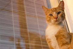Fim adorável vermelho e branco do gato que olha acima a câmera Retrato da vaquinha do gengibre Kitten Posing Foto de Stock