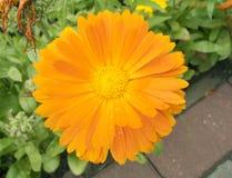 Fim alaranjado bonito do calendula da flor do jardim acima imagem de stock