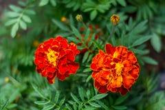 Fim alaranjado do arbusto da flor do cravo-de-defunto acima Imagem de Stock Royalty Free