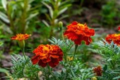 Fim alaranjado do arbusto da flor do cravo-de-defunto acima Fotos de Stock Royalty Free