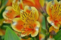 Fim amarelo-alaranjado incomum bonito da flor acima imagens de stock