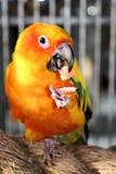 Fim amarelo bonito do pássaro de Conures que come acima Fotografia de Stock