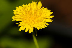 Fim amarelo da flor acima Foto de Stock Royalty Free