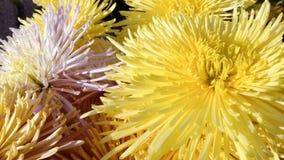 Fim amarelo da flor acima do fundo da margarida Imagens de Stock