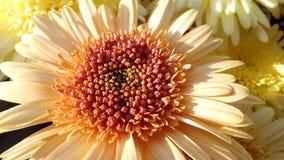 Fim amarelo da flor acima do fundo da margarida Fotos de Stock Royalty Free