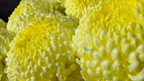Fim amarelo da flor acima do fundo da margarida Imagens de Stock Royalty Free