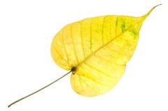 Fim amarelo da folha de Bodhi isolado acima no fundo branco, B dourado Fotos de Stock
