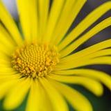 Fim amarelo do áster acima Foto de Stock Royalty Free