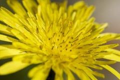 Fim amarelo do dente-de-leão acima Fotos de Stock Royalty Free