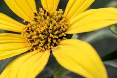 Fim amarelo do estame da flor acima imagens de stock