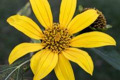 Fim amarelo do estame da flor acima fotografia de stock