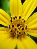 Fim amarelo do macro da flor da margarida acima Fotografia de Stock Royalty Free