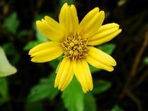 Fim amarelo do macro da flor da margarida acima Foto de Stock