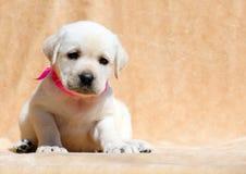 Fim amarelo feliz do retrato do cachorrinho de Labrador acima Fotografia de Stock