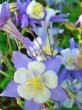 Fim aquilégia da flor de estado de Colorado acima imagens de stock