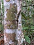 Fim australiano da árvore da floresta úmida do ficus do figo acima da casca Imagem de Stock Royalty Free