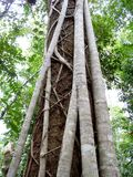 Fim australiano da árvore da floresta úmida do ficus do figo acima da casca Imagens de Stock