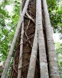 Fim australiano da árvore da floresta úmida do ficus do figo acima da casca Foto de Stock Royalty Free
