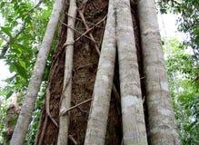 Fim australiano da árvore da floresta úmida do ficus do figo acima da casca Fotografia de Stock Royalty Free