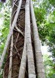 Fim australiano da árvore da floresta úmida do ficus do figo acima da casca Imagem de Stock