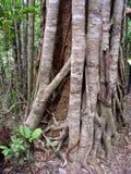 Fim australiano da árvore da floresta úmida do ficus do figo acima da casca Imagens de Stock Royalty Free