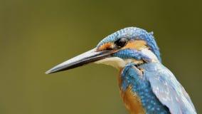 Fim azul comum do martinho pescatore acima fotos de stock royalty free