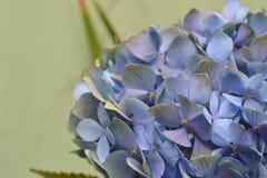 Fim azul do Hydrangea acima Imagens de Stock