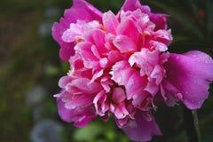 Fim bonito acima da foto da tulipa cor-de-rosa fotografia de stock royalty free