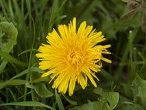 Fim bonito acima da grande flor amarela da flor do verão do dente-de-leão Fotografia de Stock
