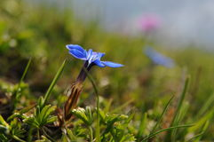Fim bonito acima de uma flor enzian Imagens de Stock Royalty Free