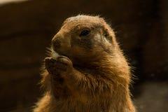 Fim bonito acima do esquilo que come o milho de PNF fotografia de stock royalty free
