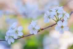 Fim bonito da flor de cerejeira acima Fotografia de Stock Royalty Free