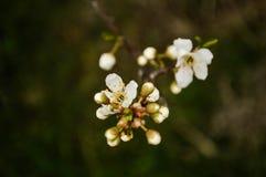 Fim bonito da flor do abricó acima no jardim O ramo da árvore de fruto de florescência floresce na mola no fundo borrado Imagens de Stock