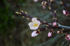Fim bonito da flor do abricó acima no jardim O ramo da árvore de fruto de florescência floresce na mola no fundo borrado Fotografia de Stock Royalty Free