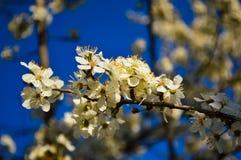 Fim bonito da flor do abricó acima no jardim O ramo da árvore de fruto de florescência floresce na mola no fundo borrado Imagem de Stock Royalty Free