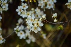 Fim bonito da flor do abricó acima no jardim O ramo da árvore de fruto de florescência floresce na mola no fundo borrado Blosso d Fotos de Stock