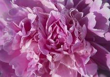 Fim bonito da peônia do rosa do botão acima Foto de Stock