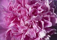 Fim bonito da peônia do rosa do botão acima Fotos de Stock Royalty Free