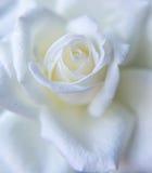 Fim bonito da rosa do branco acima Imagens de Stock Royalty Free