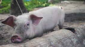 Fim bonito do porco acima na floresta video estoque