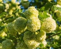 Fim bonito incomum da flor da flor da árvore do roseum da bola de neve do viburnum acima Fotos de Stock