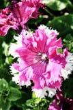 Fim branco cor-de-rosa acima brilhantemente iluminado do petúnia Imagens de Stock Royalty Free