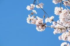 Fim branco da árvore da flor de cerejeira acima com céu azul Fotografia de Stock