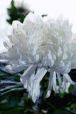 Fim branco da flor do crisântemo acima Fotografia de Stock