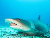 Fim branco do tubarão do recife da ponta acima das Ilhas Galápagos Equador foto de stock royalty free